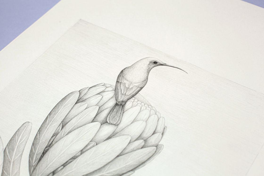 Protea a kolibřík